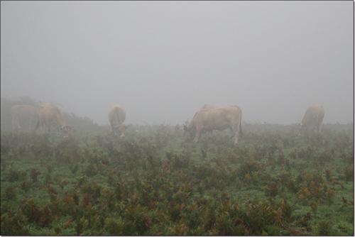 des vaches dans le brouillard