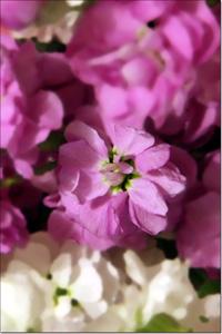 détail d'un bouquet de giroflées